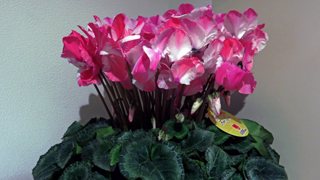玄関の花 シクラメン